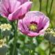 ¿Para qué se usa el opio medicinal?
