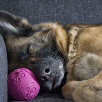 Muere 'Buddy', 1er perro que dio positivo al coronavirus en EU