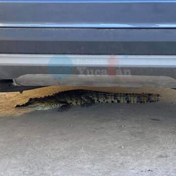 Capturan a  cocodrilo en calles del Fraccionamiento Las Américas