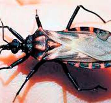 El Mal de chagas puede tardar 20 años en manifestarse en el cuerpo
